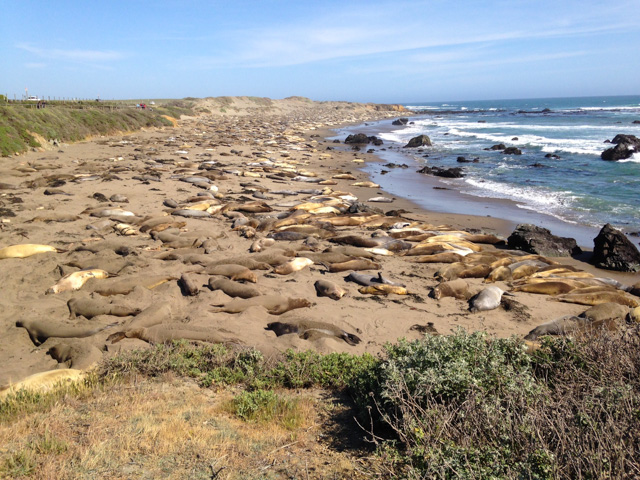An endless sea of basking elephant seals - near San Simione on the drive back